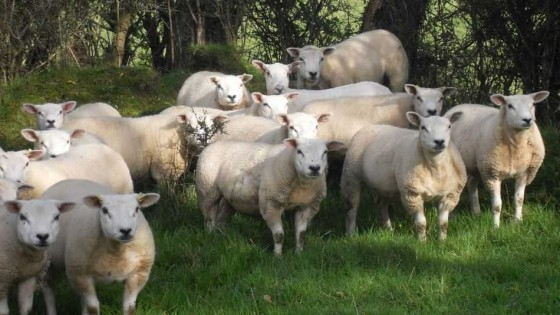 La raza ovina que se consolida en la ovinicultura nacional trasciende fronteras y se posiciona en países como Paraguay — Audios — Dinámica Rural | El Espectador 810