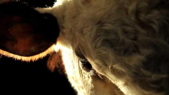La 41a Ganadera Hereford pone en el mercado 10 mil vacunos — Audios — Dinámica Rural | El Espectador 810
