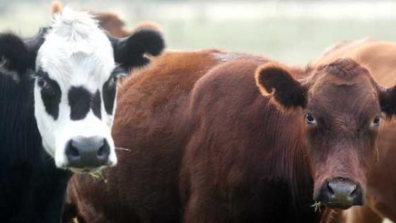 Baja la faena y se mantiene la firmeza en el ganado gordo — Ganadería — Dinámica Rural | El Espectador 810