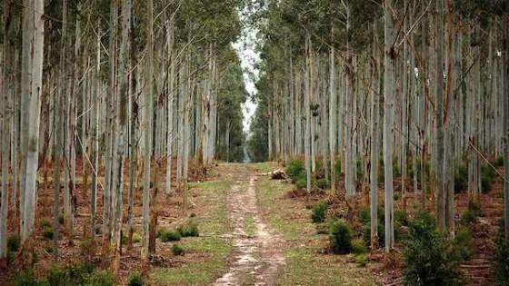 En la recría de terneros, la forestación ayuda con sombra y abrigo — Ganadería — Dinámica Rural | El Espectador 810