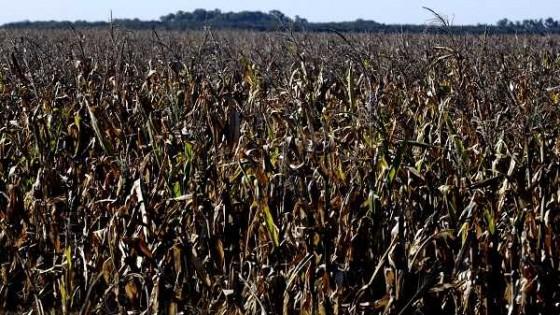 El maíz dado la inestabilidad de la soja crecerá en área, estiman más de un 10% — Agricultura — Dinámica Rural | El Espectador 810