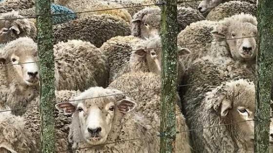 La Sociedad de Criadores de Corriedale apuesta al doble propósito, para ratificar la inversión en tecnologías y aprovechar la fuerte demanda por lana y carne — Ganadería — Dinámica Rural | El Espectador 810