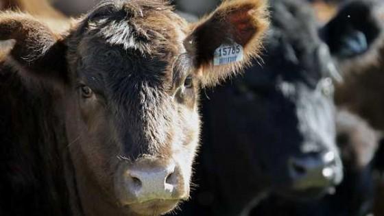 El novillo gordo cierra la semana estable, con una referencia de 3.55 dól/kg — Ganadería — Dinámica Rural | El Espectador 810