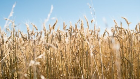 Agroecología: critican posible aprobación de trigo transgénico — Informes — No Toquen Nada | El Espectador 810
