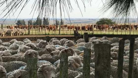 Según el SNIG, el stock vacuno descendió 1,5%, mientras que el de ovinos aumentó 1.3% — Ganadería — Dinámica Rural | El Espectador 810