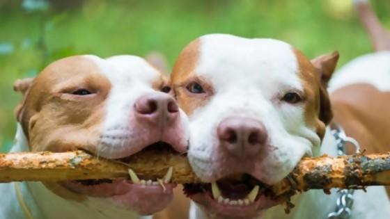 Pitbull: historia de una raza — Perros y gatos: curiosidades que no muerden — Bien Igual | El Espectador 810