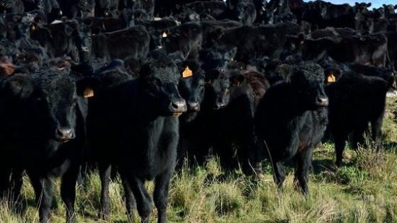 Pantalla Uruguay, con 17.400 vacunos de calidad — Mercados — Dinámica Rural   El Espectador 810