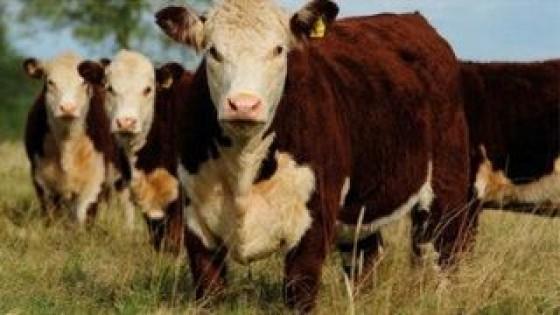 Mercado ganadero: Hay oferta, hay demanda, precios firmes y estables — Mercados — Dinámica Rural   El Espectador 810