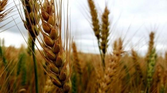 USDA: En trigo, la calidad  ''buena a excelente'' es de las más bajas de los últimos 40 años — Comercio Exterior — Dinámica Rural | El Espectador 810