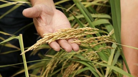 Se fijó el precio provisorio del arroz en 12.30 dólares — Agricultura — Dinámica Rural | El Espectador 810