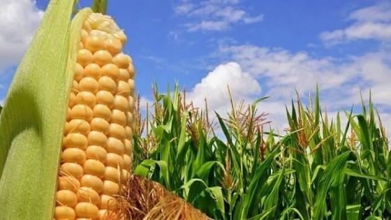 Prolesa promueve reserva temprana de maíces hasta el 31 de julio — Lechería — Dinámica Rural   El Espectador 810