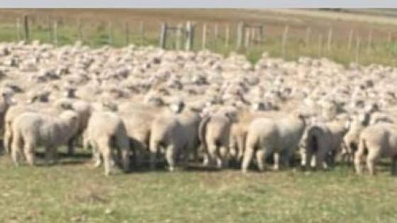 Zafra ovina: ''Hay optimismo en el rubro, tanto para la carne como para la lana'' — Ganadería — Dinámica Rural   El Espectador 810