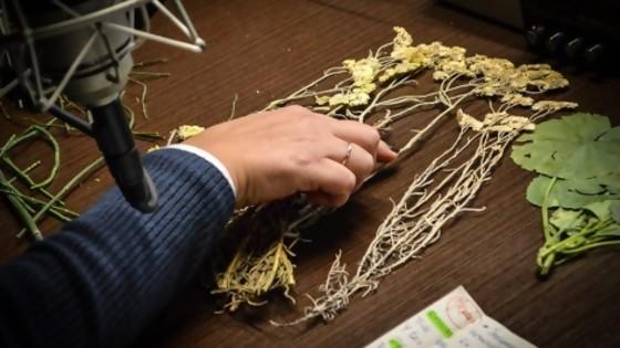 Marcela, manzanilla, carqueja: usos sociales vs propiedades comprobadas — Entrevistas — No Toquen Nada | El Espectador 810