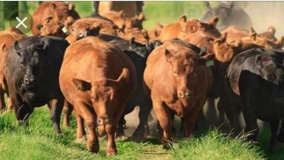 El novillo gordo fluctúa entre los 3.50 y 3.70 dólares — Ganadería — Dinámica Rural | El Espectador 810
