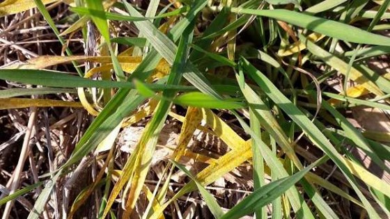 Técnicos de INIA advierten sobre presencia de la roya amarilla, una enfermedad que es recurrente en las últimas zafras — Agricultura — Dinámica Rural | El Espectador 810