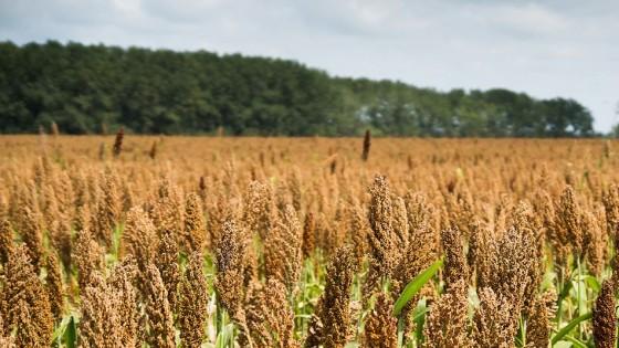 ALUR ofrece contratos de producción de 160 dólares la tonelada como base, con bonificaciones en los sorgos de entrega temprana — Agricultura — Dinámica Rural | El Espectador 810