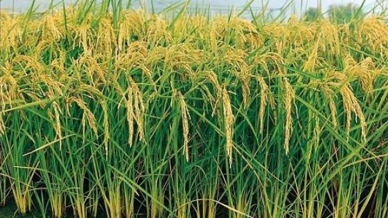 El Poder Ejecutivo resolvió utilizar el remanente de 338 mil dólares para el Fondo Arrocero IV — Agricultura — Dinámica Rural | El Espectador 810