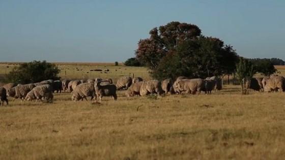 Pensando en más producción, bienestar, sanidad y nutrición clave en ovinos — Ganadería — Dinámica Rural | El Espectador 810