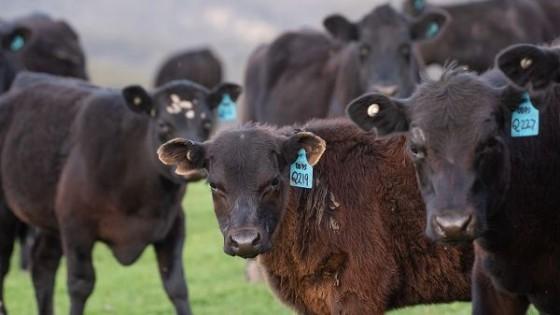 Tras 14 años, Uruguay es referencia en la trazabilidad de la ganadería vacuna — Ganadería — Dinámica Rural | El Espectador 810