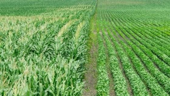 Cultivos de verano: la condición es buena tanto en soja como en maíz — Agricultura — Dinámica Rural | El Espectador 810