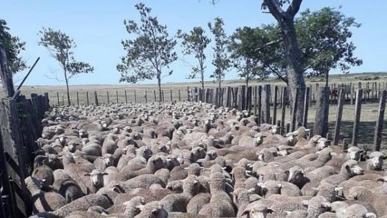 La zafra ovina refleja  el contexto favorable para el rubro — Ganadería — Dinámica Rural | El Espectador 810