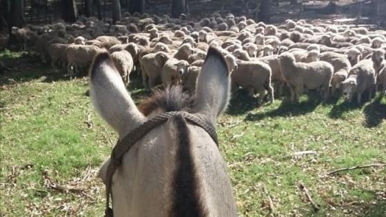 El ovino se enfrenta a la Damalina Ovis, por lo que es recomendable un manejo a tiempo para que no incida en la producción de carne y lana — Ganadería — Dinámica Rural | El Espectador 810