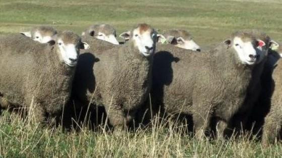 'La Esperanza' el 26 pone lo más selecto en Corriedale y Poll Dorset — Ganadería — Dinámica Rural | El Espectador 810
