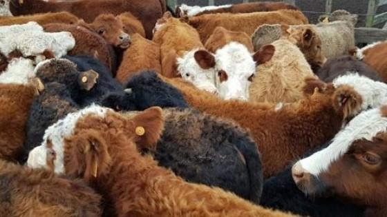 La venta de terneros consolida 'muy buenos precios', afirman operadores — Ganadería — Dinámica Rural | El Espectador 810