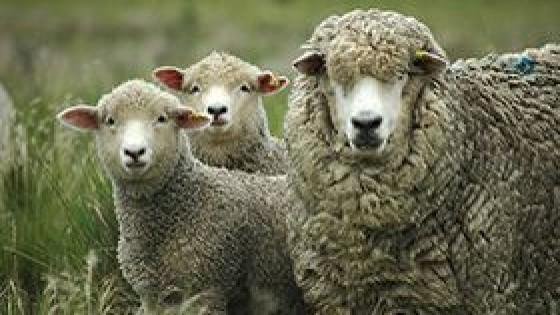 Rubro ovino: Mientras el COVID-19 golpea a la lana, la carne tiene un escenario más auspicioso — Ganadería — Dinámica Rural | El Espectador 810