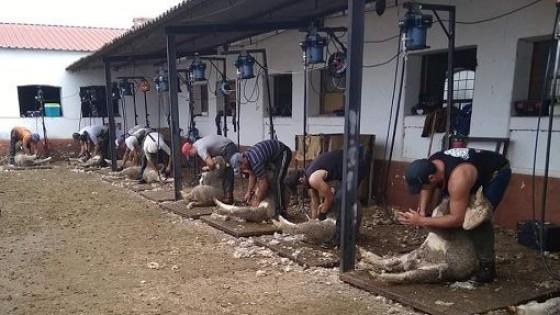 Esquiladores de exportación — Ganadería — Dinámica Rural | El Espectador 810