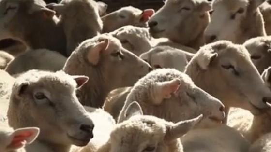 Más corderos: Nutrición, manejo y más tecnología son algunas de las claves para lograr ese objetivo — Ganadería — Dinámica Rural | El Espectador 810