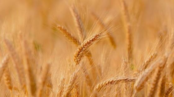Datos de DIEA: Sube el área de invierno un 12.3%, pero cae el trigo y aumentan la cebada, la colza y la carinata — Ganadería — Dinámica Rural | El Espectador 810