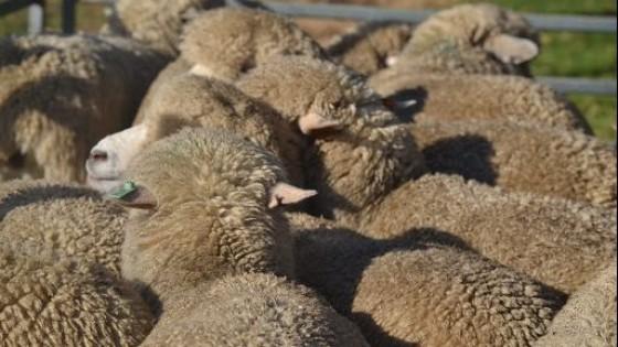 Mercado lanero: Volvió Australia, con caídas abruptas e históricas  — Mercados — Dinámica Rural | El Espectador 810
