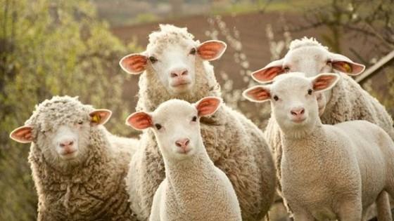 Ovinos: El Índice de Preñez en ovinos se ubicó en 93.6% — Ganadería — Dinámica Rural | El Espectador 810