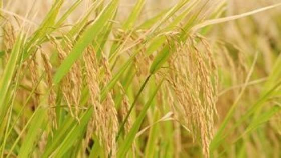 México 'nuevamente dio el sí al arroz uruguayo' — Agricultura — Dinámica Rural | El Espectador 810