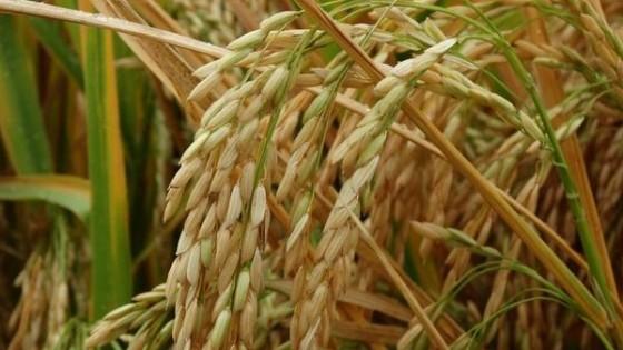 Arroceros uruguayos preocupados por acciones unilaterales de Brasil — Agricultura — Dinámica Rural | El Espectador 810