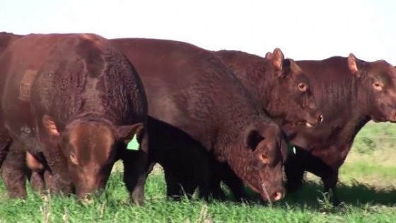 C. Bachino: Ponemos en la zafra ''genética destacada'' — Ganadería — Dinámica Rural | El Espectador 810