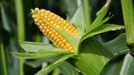 Conaprole impulsa cultivos de alto rendimiento — Lechería — Dinámica Rural | El Espectador 810