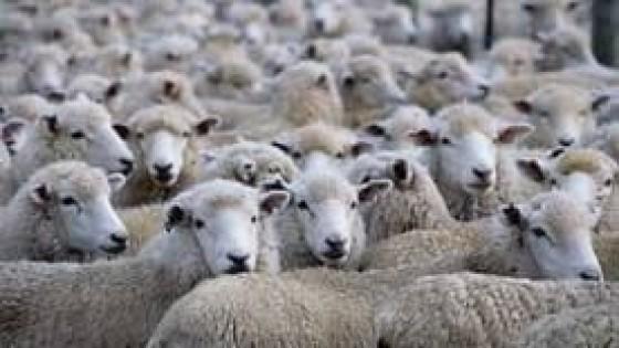 Esc. O. Fernández pone en el mercado 5.000 ovinos — Mercados — Dinámica Rural   El Espectador 810