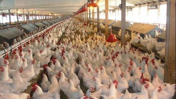 Sector avícola entrega 15 mil gallinas faenadas por semana a más de 200 ollas populares — gremiales — Dinámica Rural | El Espectador 810