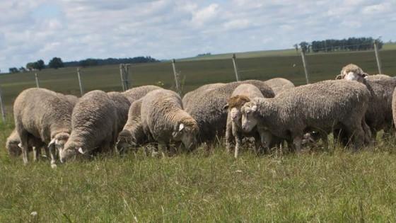 ''La Empastada'' rematará sus Merino Dhone y Merino Australiano, producidos 100% a pasto — Ganadería — Dinámica Rural | El Espectador 810