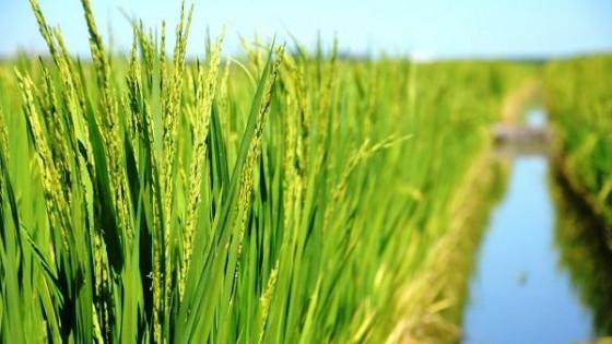 Arroz: La zafra 20/21 abarcó más de 143 mil hectáreas — Agricultura — Dinámica Rural | El Espectador 810
