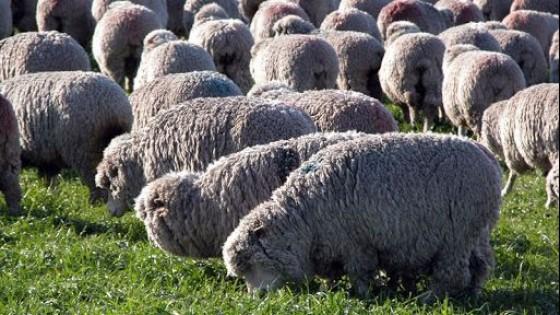 G. Araújo: ''Datos objetivos, precios de la carne y repunte de la lana generan expectativas para la zafra de carneros'' — Ganadería — Dinámica Rural | El Espectador 810