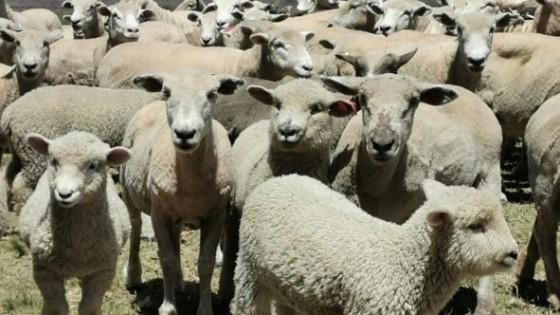 En Parada Fariña O. Fernández remata 2.700 ovinos — Mercados — Dinámica Rural   El Espectador 810