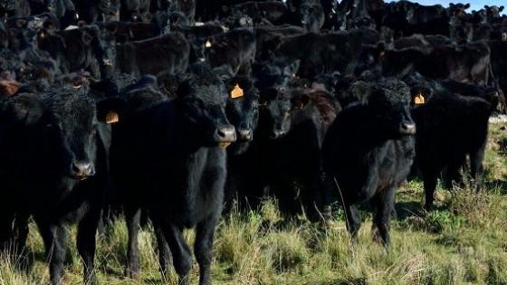 Plazarural: ''Plazo, calidad y los mejores Angus'' — Mercados — Dinámica Rural   El Espectador 810