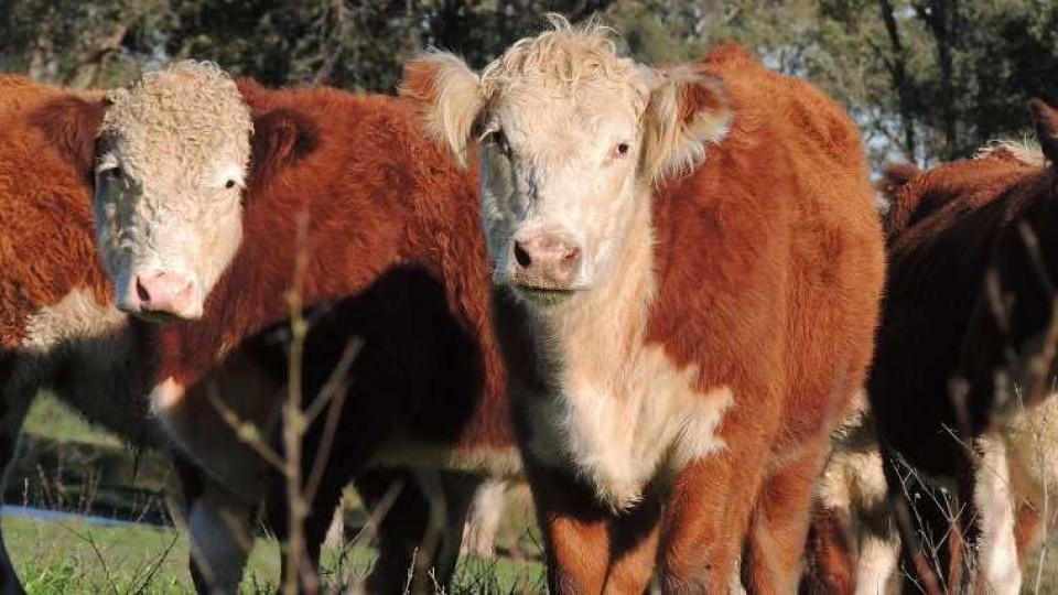 El novillo gordo se ubica por encima de los 3,60 dólares —  Ganadería — Dinámica Rural | El Espectador 810