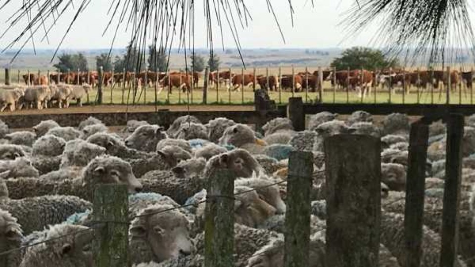 Ovinos: manejo, sanidad preventiva e inversión son claves para la eficiencia en el negocio —  Ganadería — Dinámica Rural | El Espectador 810