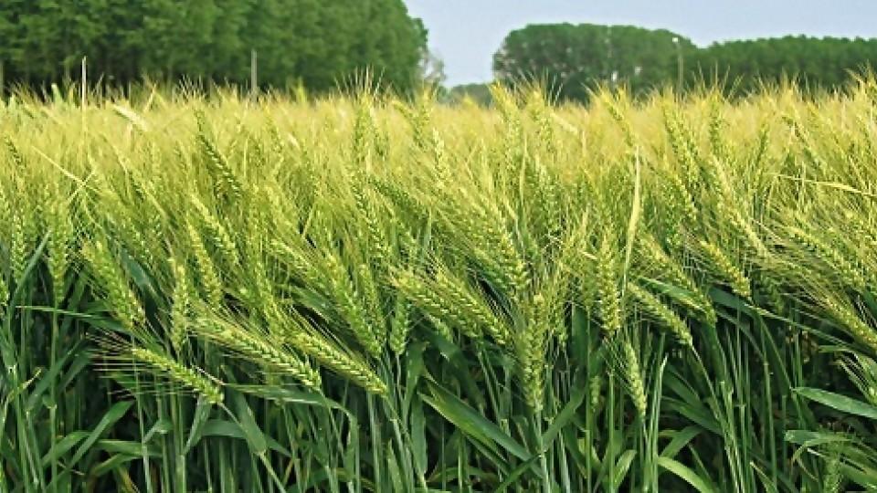 A semanas de la cosecha de invierno, las chacras prometen buen potencial de rendimiento —  Agricultura — Dinámica Rural | El Espectador 810