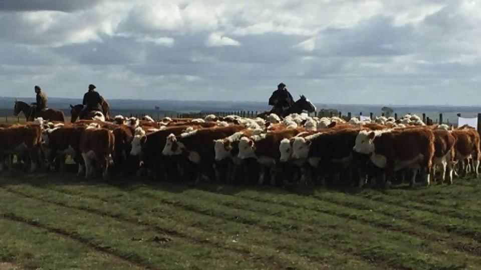 Se cumplió: 'la vaca les gana' suena en cada remate de la zafra —  Ganadería — Dinámica Rural | El Espectador 810