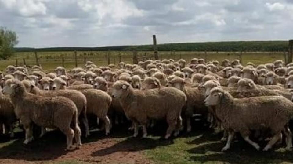 G. Bianchi: ''El 40% de la producción de lana está fuera del mercado'' —  Ganadería — Dinámica Rural | El Espectador 810